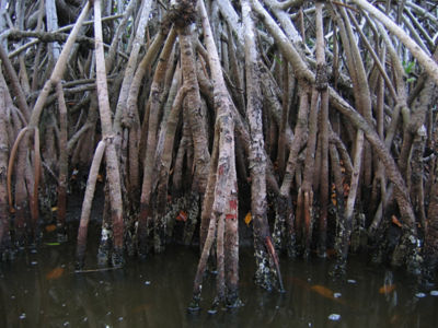 biomimicry-mangroves-improve-coastal-erosion-coastal-barriers-mangrove.jpg